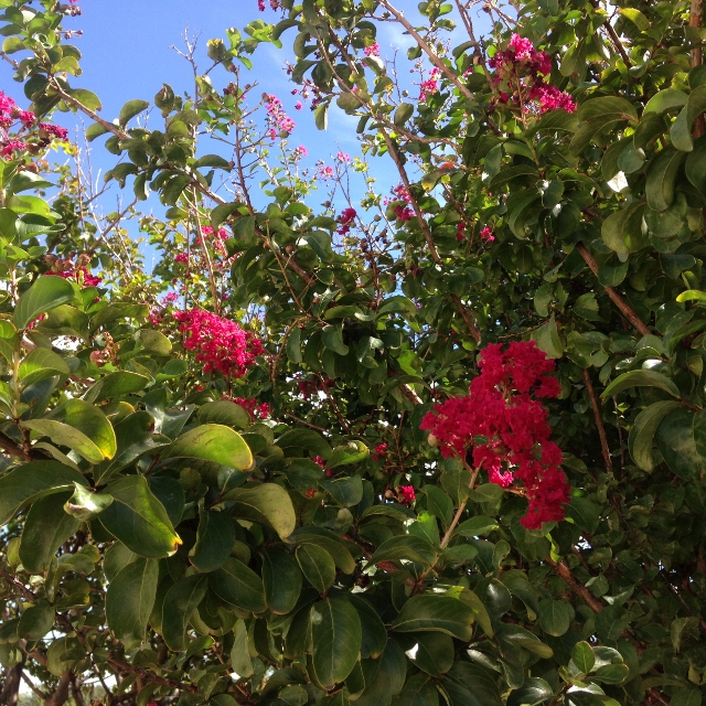 Texas crape myrtle in bloom